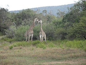 Mabalingwe Nature Reserve, Limpopo, South Africa (4481924400).jpg