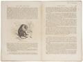 Macacus silenus - 1700-1880 - Print - Iconographia Zoologica - Special Collections University of Amsterdam - UBA01 IZ20000037.tif