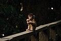 Macaque - Sepilok Orangutan Sanctuary - Sabah - Borneo - Malaysia - panoramio.jpg