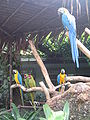 Macaws, Jurong BirdPark.JPG