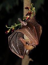 A small, yellowish brown bat clings upside down to a branch with one foot. Its wings are slightly spread and it has a narrow snout.