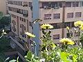 Macroglossum stellatarum foto amatoriale.jpg