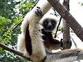 Madagascar, lémurien.jpg