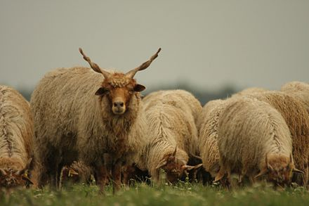 A flock of Racka sheep in the Ferto-Hansag National Park Magyar racka juh.jpg