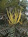 Mahonia lomariifolia flores.jpg