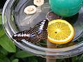 Mainau Schmetterling Schale.JPG