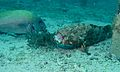 Malabar Grouper (Epinephelus malabaricus) (6123988802).jpg