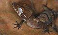 Malaysia Bow-fingered Gecko (Cyrtodactylus elok) (8753375667).jpg