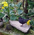 Male Blackbird bathing in our pond - Flickr - gailhampshire.jpg