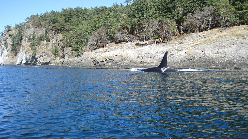 File:Male orca whale L79 southern resident puget sound.jpg