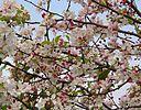 fleurs roses du pommier evereste