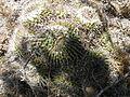 Mammillaria compressa 3.jpg