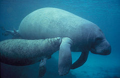 Manatee swimming with calf
