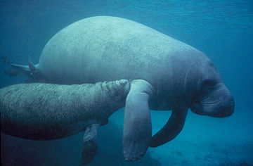 West Indian manatee Manatee with calf.PD.jpg