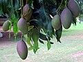 Mangoes (22006885938).jpg