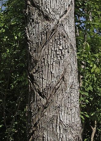 Manilkara zapota - Image: Manilkara zapota yucatan