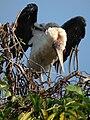 Marabou Stork Leptoptilos crumeniferus in Tanzania 4747 cropped Nevit.jpg