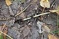 Marasmius epiphyllus 95006697.jpg