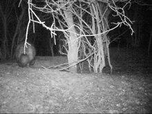 Datei:Marderhund-nachtaufnahme.webm