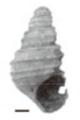 Margarya yini shell.png