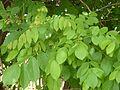 Markhamia obtusifolia, loof, Manie van der Schijff BT, a.jpg