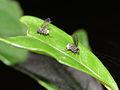 Megaselia sp. female display 01.jpg