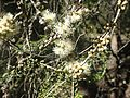 Melaleuca lanceolata foliage, flowers and fruit.jpg