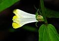 Melampyrum pratense - flowers.jpg