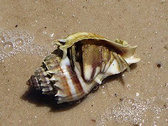 Conch - A shell of the Florida crown conch Melongena corona inhabited by a hermit crab
