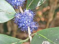 Memecylon umbellatum flowers at Peravoor (6).jpg