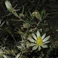 Mentzelia multiflora northern New Mexico.jpg