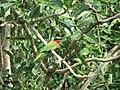 Merops bulocki frenatus 2.jpg