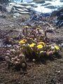 Mes tussilages fournissent des fleurs chaque jour ensoleillé (5656744292).jpg