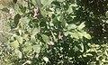 Mespilus canescens - Missouri Botanical Garden.jpg