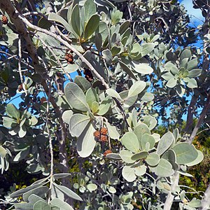 Conocarpus erectus - Image: Miami Beach Sand Dunes Flora Silver Buttonwood Detail Leaves and Fruit
