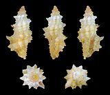 Microdaphne trichodes 01.jpg