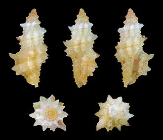 Raphitomidae - Microdaphne trichodes shell
