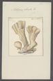Millepora plicata - - Print - Iconographia Zoologica - Special Collections University of Amsterdam - UBAINV0274 111 07 0003.tif
