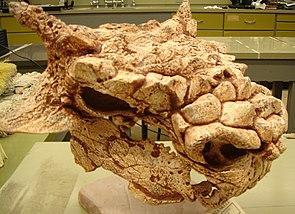 Kopf von Minotaurasaurus ramachandrani