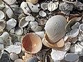 Mollusc shells on marine beach (Cayo Costa Island, Florida, USA) 12 (24327576645).jpg