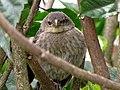 Molotrhus bonariensis (Chamón parásito) - Pichón (14374883051).jpg