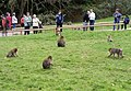Monkey Forest at Trentham - geograph.org.uk - 1171925.jpg