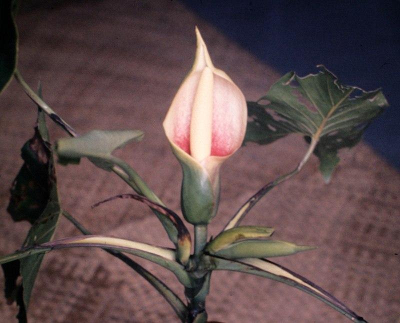 TÌNH YÊU CÂY CỎ ĐV.3 - Page 2 800px-Montrichardia_arborescens_-_plant_-_Suriname