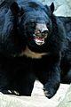 Moon bear (ursus thibetanus).jpg