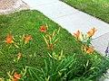 More Tiger Lilys - panoramio.jpg