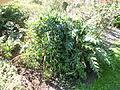 Morris Arboretum Acanthus spinosus.JPG