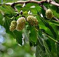 Morus alba White Mulberry თუთა.JPG
