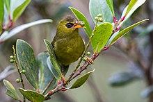 Оливково-зеленая птица с оранжевым клювом и черным кольцом на глазу ест небольшую зеленую ягодку.