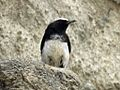 Mourning Wheatear male RWD.jpg