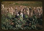 Mr. Leatherman, homesteader, tying up cauliflower 1a34100v.jpg